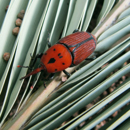 A red palm weevil, this little bug costs the palm industry millions and has a psychological affect on farmers with low incomes in developing countries.