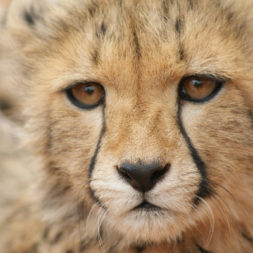 fit cheetahs a non invasive approach to increase genetic
